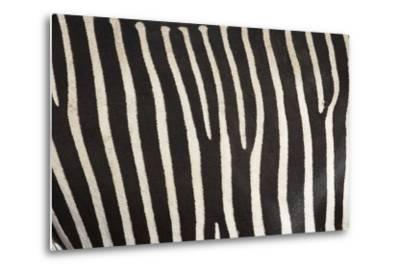 Samburu National Reserve, Kenya, East Africa; Close-Up of Grevy's Zebra Hide-Design Pics Inc-Metal Print