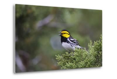 Kinney County, Texas. Golden Cheeked Warbler in Juniper Thicket-Larry Ditto-Metal Print