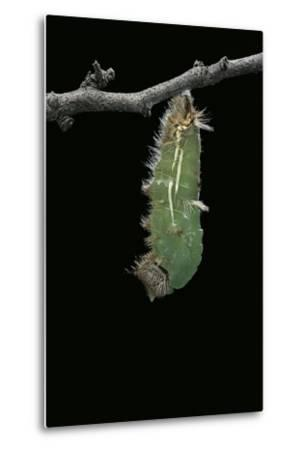 Morpho Peleides (Blue Morpho) - Caterpillar Pupating-Paul Starosta-Metal Print