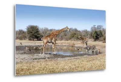 Giraffe and Zebra at Waterhole-Richard Du Toit-Metal Print