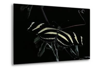 Heliconius Charithonia (Zebra Longwing)-Paul Starosta-Metal Print