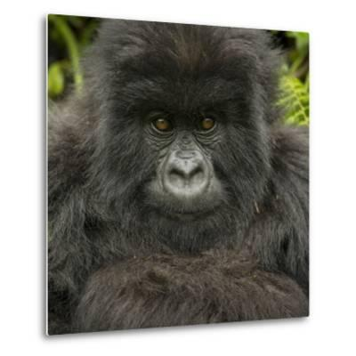 Portrait of a Mountain Gorilla from the Umubano Group-Michael Melford-Metal Print