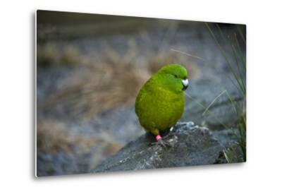 The Antipodes Parakeet, Cyanoramphus Unicolor, at the Auckland Zoo-Joel Sartore-Metal Print