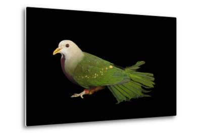 A Wompoo Fruit Dove, Ptilinopus Magnificus, at the Kansas City Zoo-Joel Sartore-Metal Print