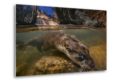 A Female Otter Searches for Prey-Charlie Hamilton James-Metal Print
