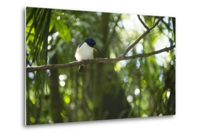 A Forest Kingfisher, Todiramphus Macleayii, at the Taronga Zoo-Joel Sartore-Metal Print