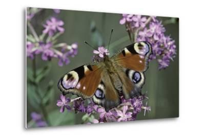 Inachis Io (Peacock Butterfly, European Peacock)-Paul Starosta-Metal Print