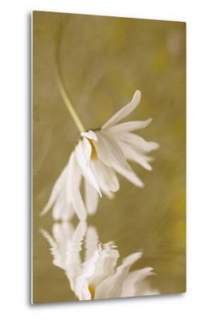 Daisy Reflection-Kathleen Clemons-Metal Print