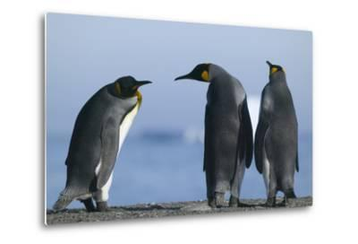 King Penguins on Rocky Beach-DLILLC-Metal Print