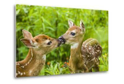 Twin White-Tailed Deer Fawns Nuzzling Together in Meadow Minnesota Spring Captive-Design Pics Inc-Metal Print