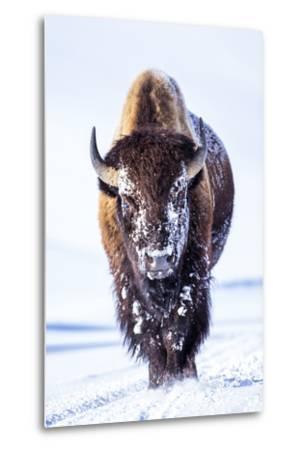Wyoming, Yellowstone National Park, Bull Bison Walking in Hayden Valley-Elizabeth Boehm-Metal Print