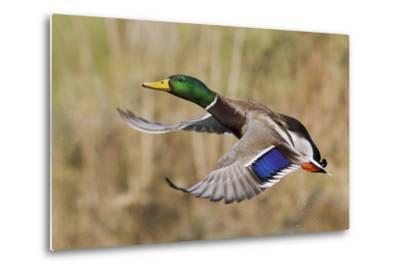 Mallard Drake Taking Flight-Ken Archer-Metal Print