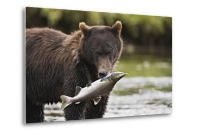 Brown Bear Feeds on Spawning Pink Salmon-Design Pics Inc-Metal Print