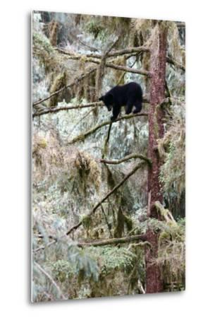 Black Bear Cub Up a Tree for Protection Against a Male Grizzly at Anan Creek Bear Observatory-Design Pics Inc-Metal Print