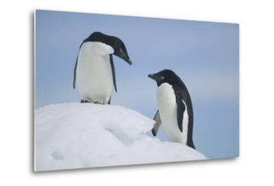 Pair of Adelie Penguins on an Iceberg-DLILLC-Metal Print