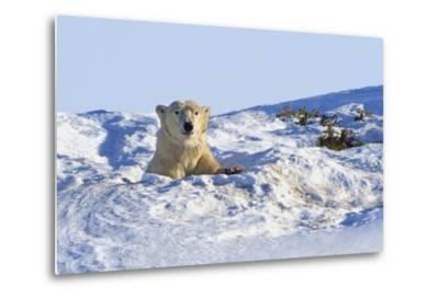Polar Bear (Ursus Maritimus) in Wapusk National Park; Churchill, Manitoba, Canada-Design Pics Inc-Metal Print