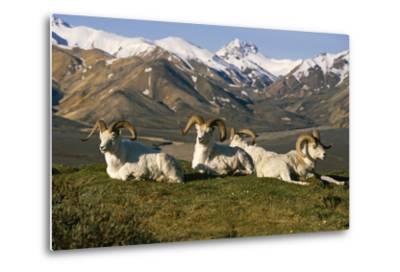 Group of Dall Sheep Rams on Ridge Polychrome Pass in Ak Summer Denali Np-Design Pics Inc-Metal Print