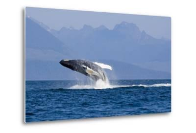 Humpback Whale in Inside Passage Leaping Out of the Water Southeast Alaska Summer-Design Pics Inc-Metal Print