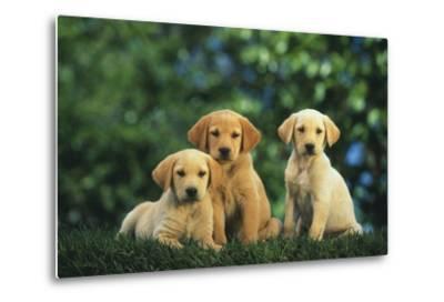 Yellow Lab Puppies-DLILLC-Metal Print