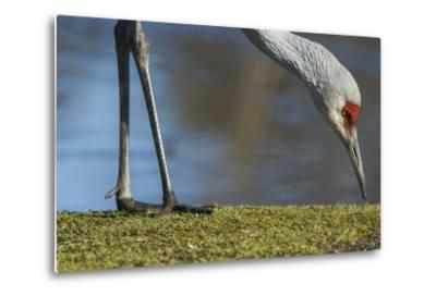 Close Up of a Sandhill Crane, Grus Canadensis, Feeding-Paul Colangelo-Metal Print