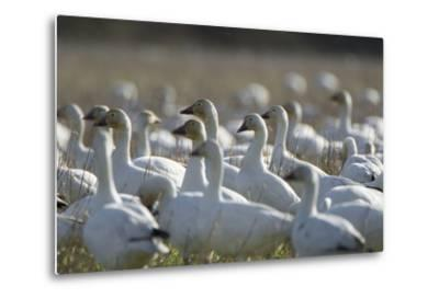 A Flock of Snow Geese, Chen Caerulescens, in a Farmer's Field-Paul Colangelo-Metal Print