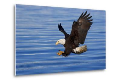 Bald Eagle Preparing to Grab Fish Out of Water Inside Passage Alaska Southeast Spring-Design Pics Inc-Metal Print