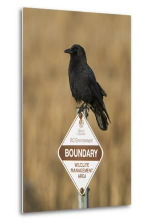 A Northwestern Crow, Corvus Caurinus, Perched on a Government Sign-Paul Colangelo-Metal Print