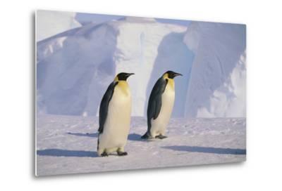 Emperor Penguins-DLILLC-Metal Print