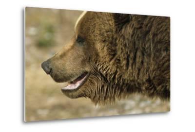 Profile of Brown Bear Denali Np in Alaska Spring-Design Pics Inc-Metal Print