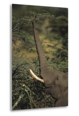 Elephant Reaching for Food-DLILLC-Metal Print