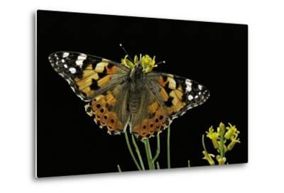 Vanessa Cardui (Painted Lady Butterfly)-Paul Starosta-Metal Print