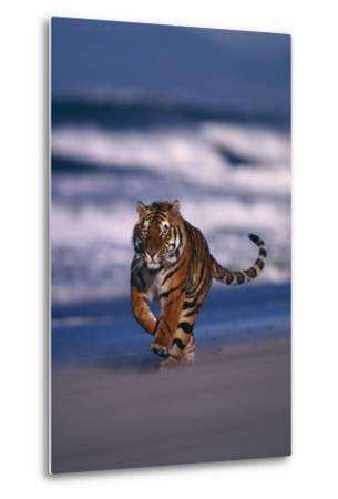 Bengal Tiger Running on Beach-DLILLC-Metal Print