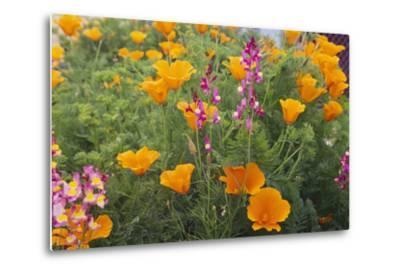 Poppies and Toadflax-DLILLC-Metal Print