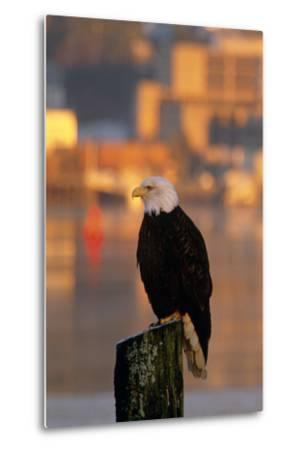 Bald Eagle Perched on Piling across from Downtown Juneau in Evening, Se Alaska-Design Pics Inc-Metal Print
