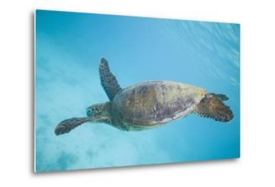 Green Sea Turtle-DLILLC-Metal Print