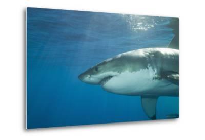 Great White Shark-DLILLC-Metal Print