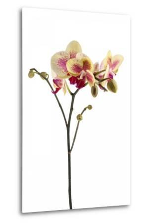Phalaenopsis Ibrid1-Fabio Petroni-Metal Print