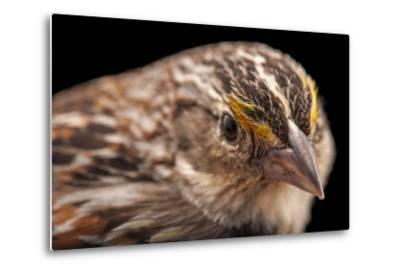 A Florida Grasshopper Sparrow, Ammodramus Savannarum Floridanus-Joel Sartore-Metal Print