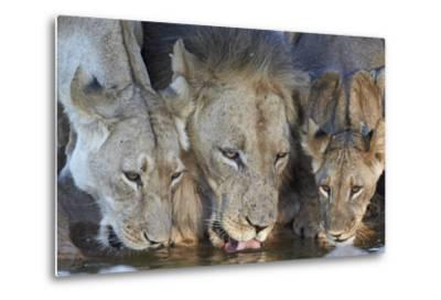 Lion (Panthera Leo) and Two Cubs Drinking-James Hager-Metal Print