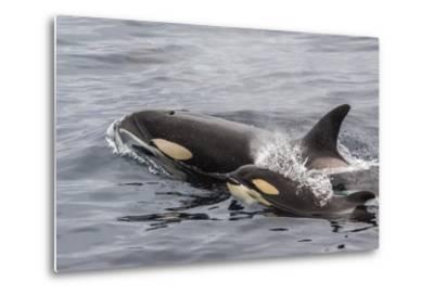 An Adult Killer Whale (Orcinus Orca) Surfaces Next to a Calf Off the Cumberland Peninsula-Michael Nolan-Metal Print
