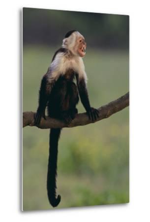 White-Faced Capuchin-DLILLC-Metal Print