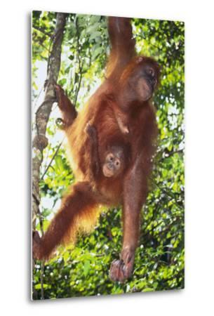 Orangutan and Baby Swinging in the Trees-DLILLC-Metal Print