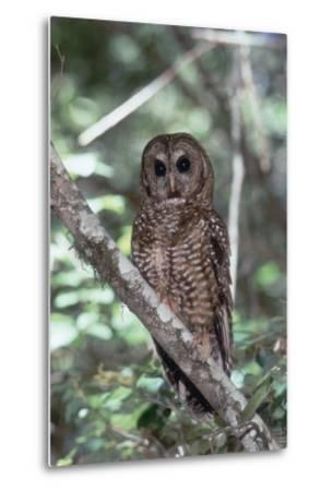 Northern Spotted Owl-DLILLC-Metal Print