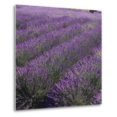 Lavender Fields-DLILLC-Metal Print