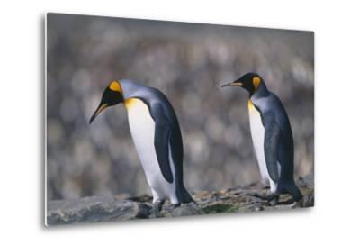 King Penguins Walking on Rocks-DLILLC-Metal Print