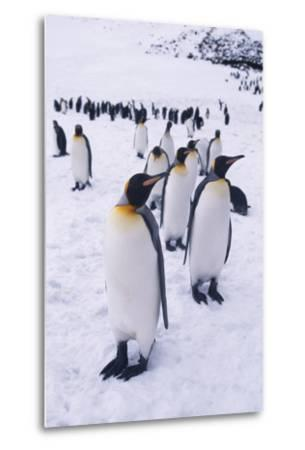 King Penguins Walking in Snow-DLILLC-Metal Print