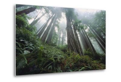 Old Growth Redwood Trees-DLILLC-Metal Print