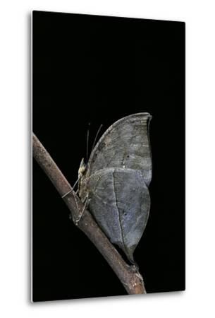 Kallima Inachus (Orange Oakleaf, Dead Leaf Butterfly)-Paul Starosta-Metal Print