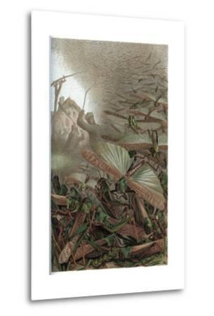 The Migratory Locust by Alfred Edmund Brehm-Stefano Bianchetti-Metal Print
