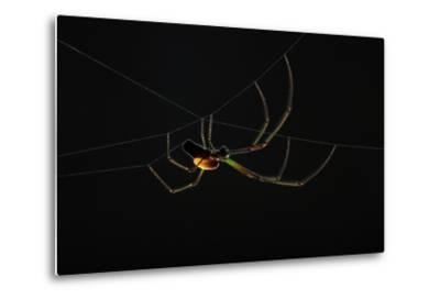 A Parasitoid Wasp Catches and Paralyzes a Spider, Then Lays its Egg on the Spider's Abdomen-Anand Varma-Metal Print